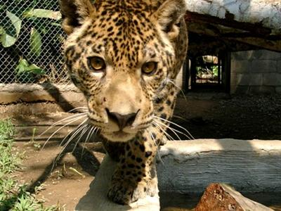 A jaguar rescued from a Peruvian circus