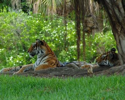 Two Bengal tigers, classified as endangered since 2010, relax in the shade in Bangladesh