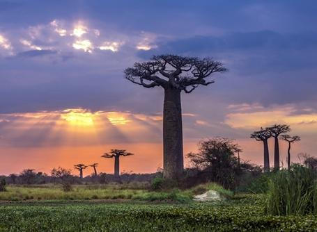 Baobab Trees in Madagascar