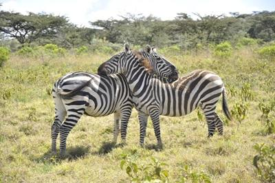 Two Zebras at Projects Abroad Southern Africa Conservation Project