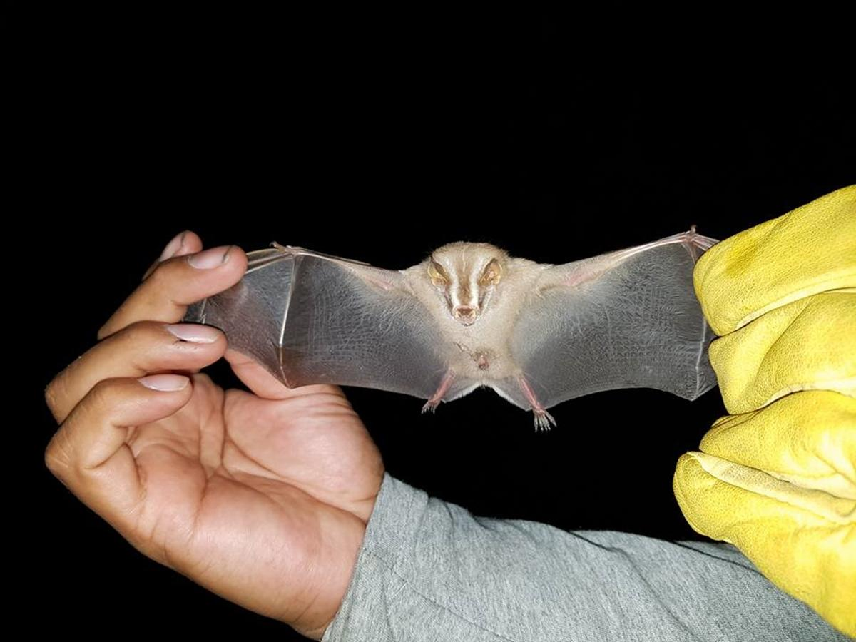 A Bat being measured during one of the evening activities