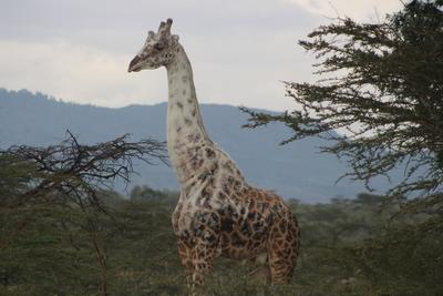 A white giraffe that has been living in the conservancy