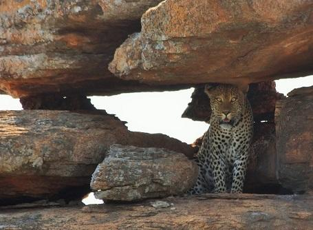 A leoapard is spotted at the Wild at Tuli game reserve in Botswana, where the Projects Abroad Bushveld Conservation project takes place