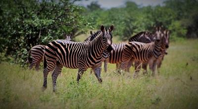 Projects Abroad Conservation volunteers sight zebras at Wild at Tuli nature reserve, Botswana