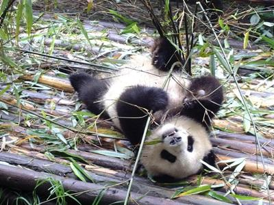 A panda eating bamboo in China, Asia