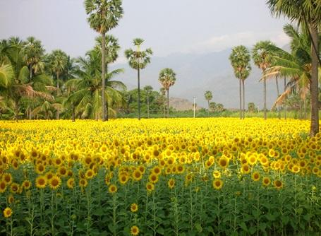 A beautiful sun flower field in India