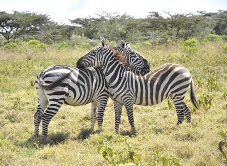 Kenya abound with wildlife of all descriptions including zebra